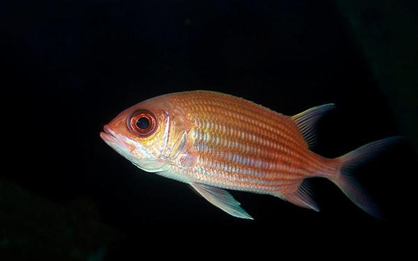 squirrelfish aquarium